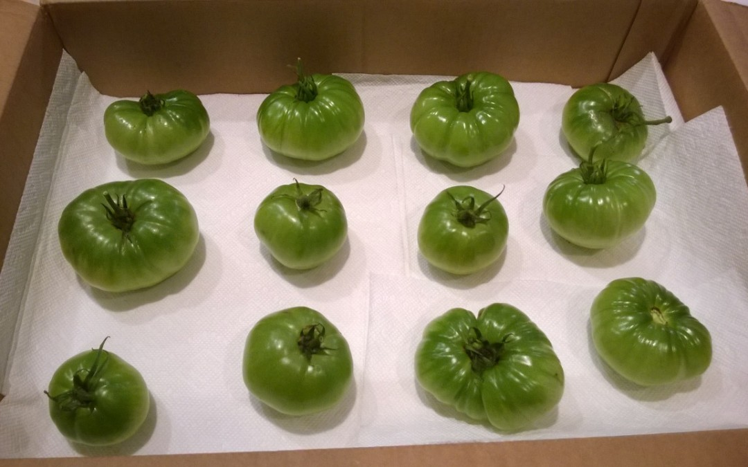 How to Turn Green Tomatoes into Delicious Ripened Ones?