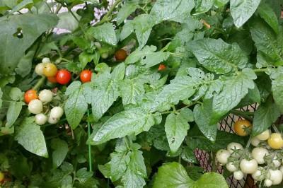 Yard2Kitchen organic cherry tomatoes