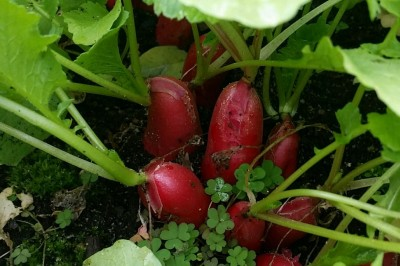 Yard2Kitchen radishes