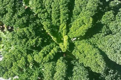 Yard2Kitchen Kale