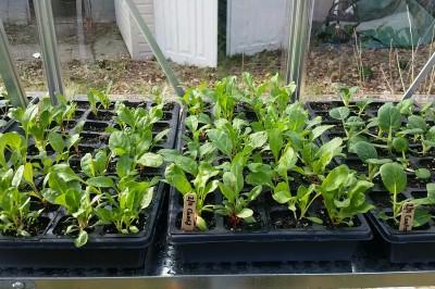 Yard2Kitchen greenhouse greens