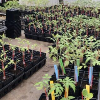 Organic tomatoes being transplanted to be planted in gardens, this crop is healthy and strong! #organicgardening #outdoorhomeprojects #raisedgardenbeds #healthylifestyle #organicgardening